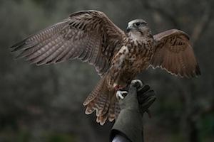TMO Falcon